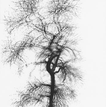 哈里·卡拉汉 《多重曝光的树》 1956