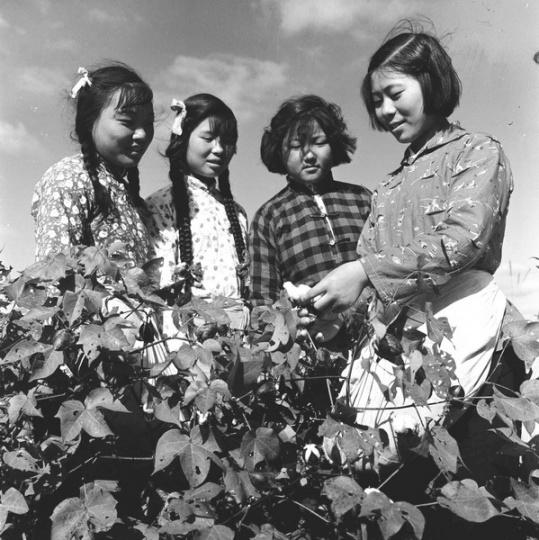 晓庄《知青采棉》60x76cm 艺术微喷1961