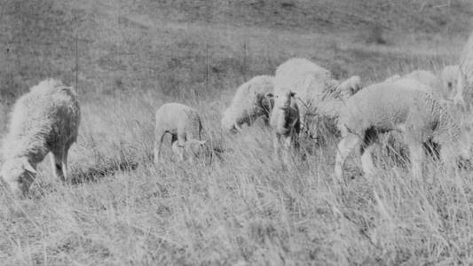 故事以五一牧场配种养殖的三代羊群来类比基督徒的迁徙生活
