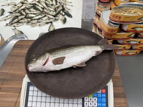 沈少民 《中国鲤鱼》 41.8×20.5×11cm 硅胶、电子机械 2019
