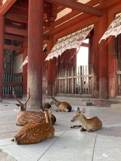 游客减少导致奈良的鹿现在很少吃到零食(图:狄青)